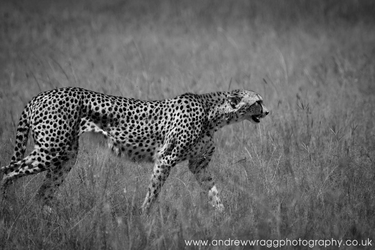Cheetah walking the Mara